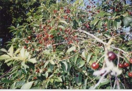 Kirsebær i Veddum