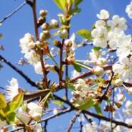 Kirsebærtræer på vej til Skelund – Veddum